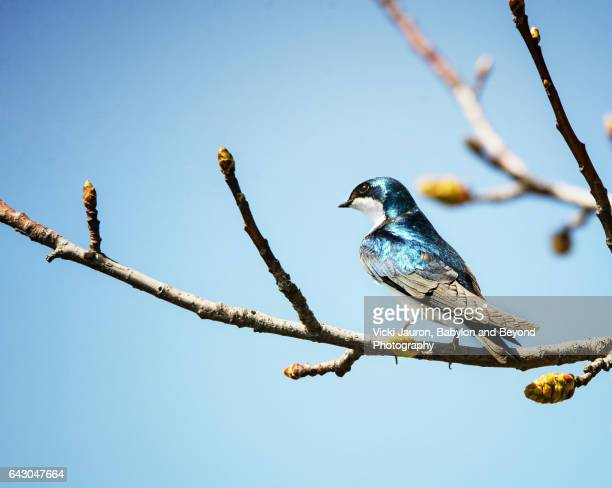 Vibrant Blue Tree Swallow in Tree at Belmont Lake State Park