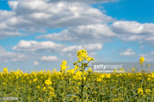 vibrant bright colored fields of yellow rapeseed flowers - st. albans stock pictures, royalty-free photos & images