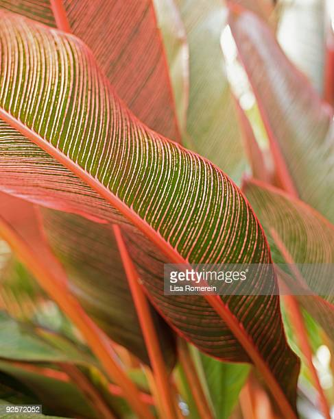 vibrant canna leaves - canna lily stock pictures, royalty-free photos & images