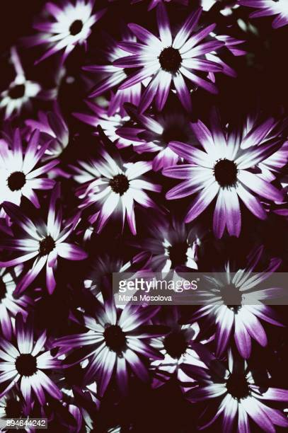 Vibrant Cineraria Blossoms