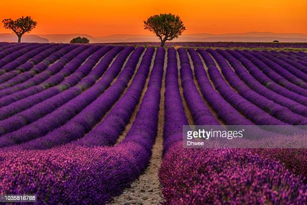 vibrant colors of lavender field during sunset valensole france - ヴァレンソール高原 ストックフォトと画像