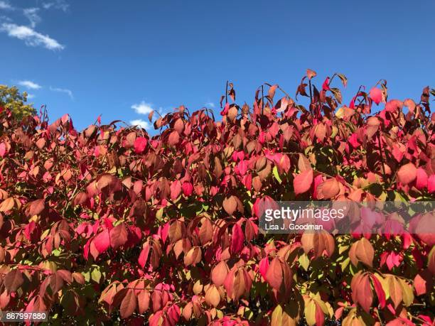 vibrant colors of leaves - burning bush stock pictures, royalty-free photos & images