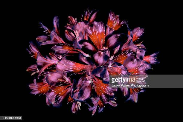 vibrant coloured floral abstract design using peruvian lilies with black background - black background stock pictures, royalty-free photos & images