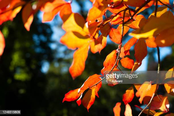 vibrant colours of autumnal tree leaves - natural parkland stock pictures, royalty-free photos & images