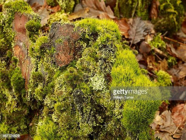 vibrant green close up detail of moss - mousse végétale photos et images de collection