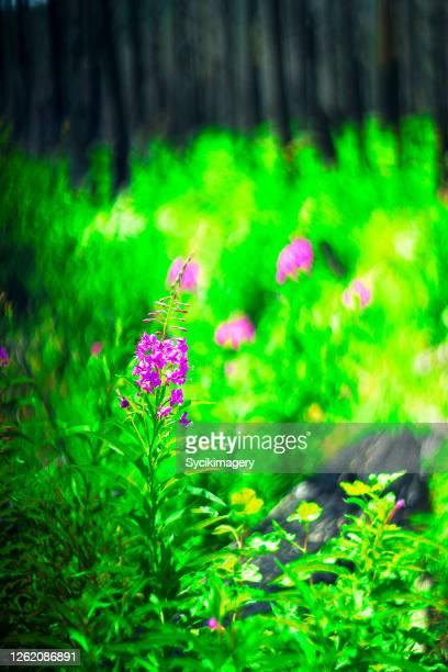vibrant green forest floor and purple lupine wildflowers - cor saturada - fotografias e filmes do acervo