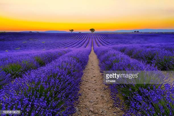 vibrant lavender field at dusk, valensole france, hdr - 高ダイナミックレンジ画法 ストックフォトと画像