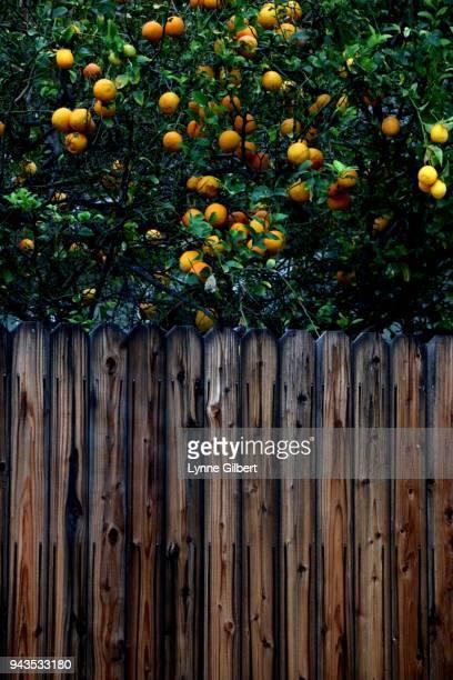 vibrant lemon tree by a wooden fence - jardin fleuri photos et images de collection