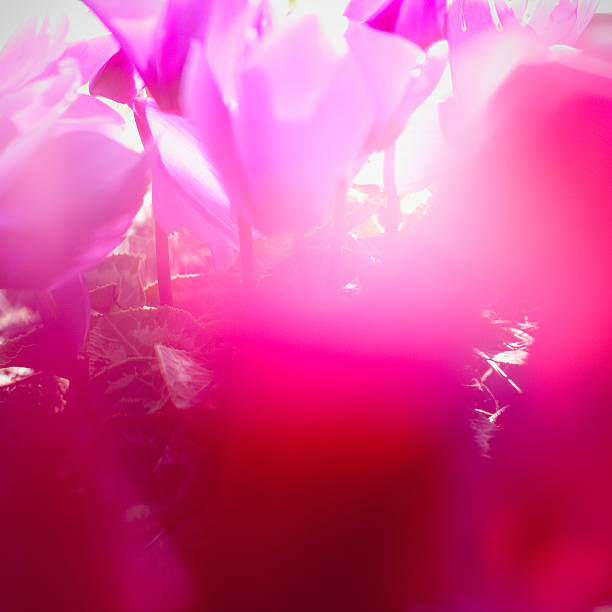 Vibrant magenta Cyclamen in bloom, soft focus, close-up
