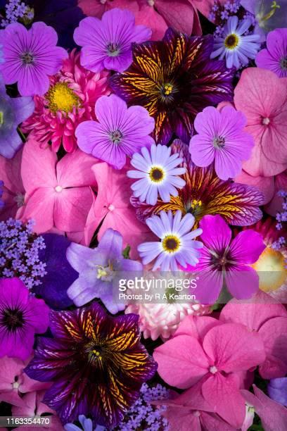 vibrant mixture of summer garden flowers - midsommarblomster bildbanksfoton och bilder