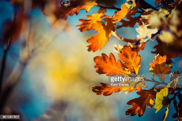 Vibrant oak leaf detail in fall colors