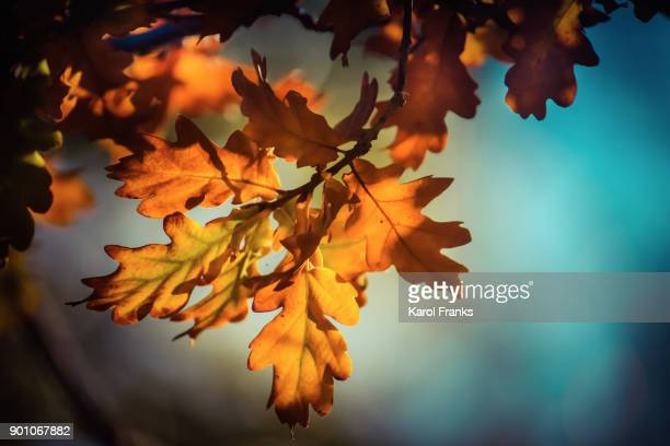Vibrant orange fall leaves with blue sky