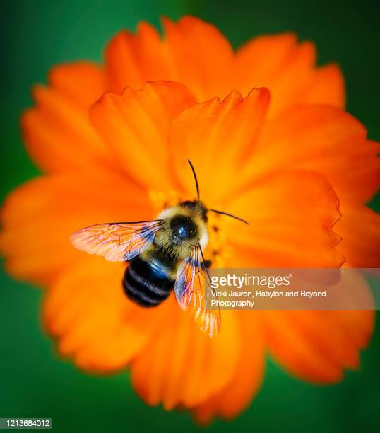 vibrant orange flower and a bee against green background - animal wing stock pictures, royalty-free photos & images
