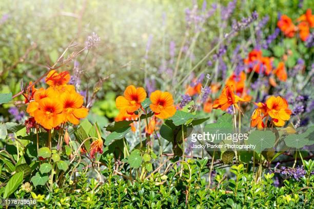 vibrant orange nasturtium flowers (tropaeolum majus) in a vegetable plot - nasturtium stock pictures, royalty-free photos & images