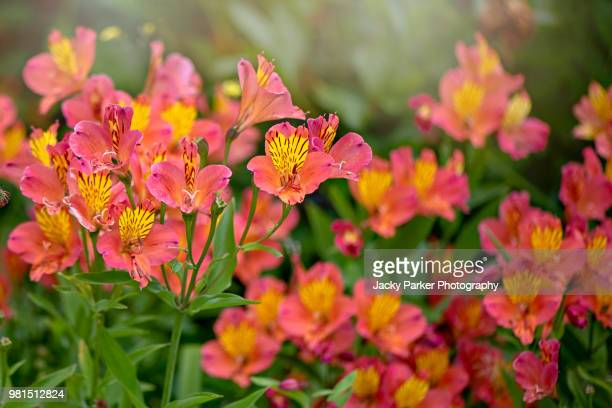 vibrant orange/red coloured alstroemeria flowers, commonly called the peruvian lily or lily of the incas - alstroemeria stock pictures, royalty-free photos & images