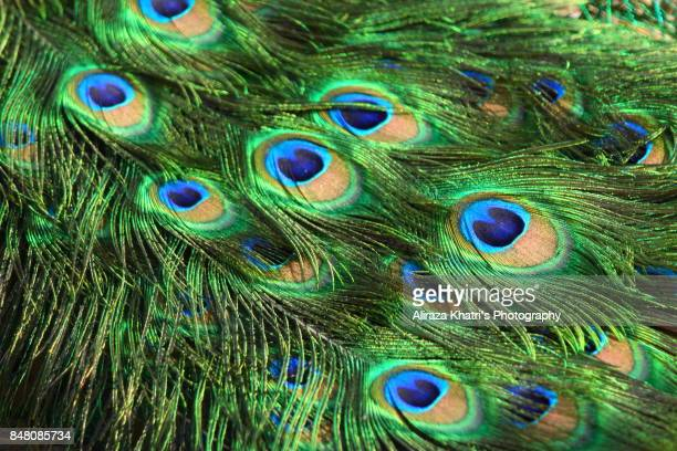 Vibrant Peacock feather