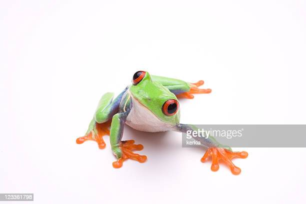 vibrant photo of a tree frog, on a white background - frog stock pictures, royalty-free photos & images