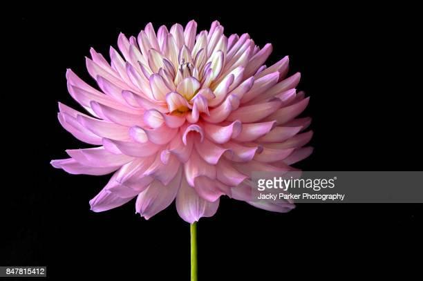 vibrant pink dahlia flower against black background - fleurs en gros plan photos et images de collection