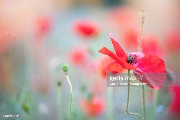 vibrant red field poppy, common poppy, flanders poppy, corn poppy or just red poppy or papaver rhoeas - happy memorial day stock pictures, royalty-free photos & images