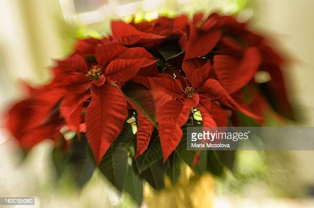 vibrant red leaves of poinsettia pulcherrima - rockville maryland stock pictures, royalty-free photos & images