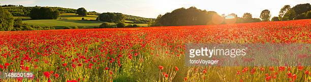 Vibrant red poppy fields warm sunlight flaring summer countryside panorama