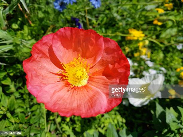 a vibrant red poppy in the flowerbed in springtime, selective focus - flower head stock pictures, royalty-free photos & images