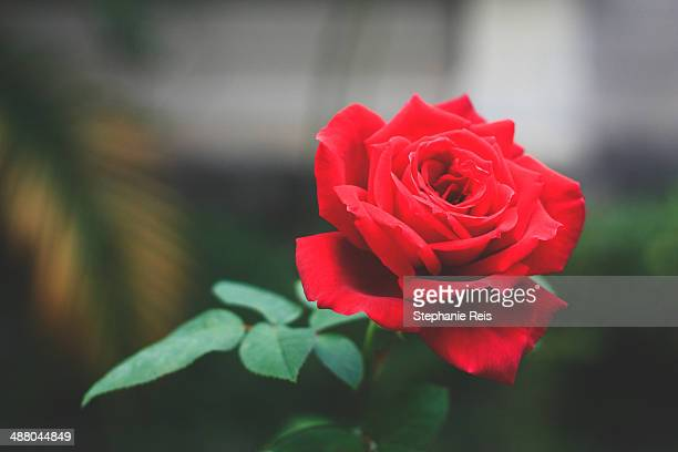 vibrant red rose - single rose stock photos and pictures