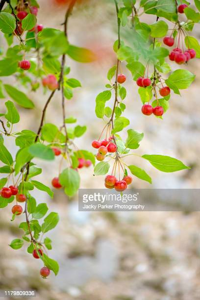 vibrant red winter berries of malus hupehensis tree, common names chinese crab apple, hupeh crab or tea crabapple - crab apple tree stock pictures, royalty-free photos & images