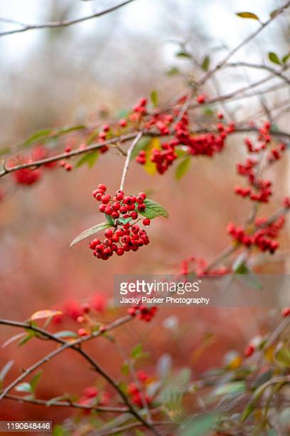 vibrant red winter berries of the shrub cotoneaster hylmoei in soft sunshine - branch stock pictures, royalty-free photos & images