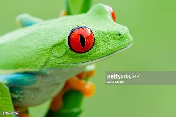 vibrant red-eyed tree frog - profile - animal finger stock photos and pictures