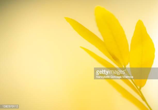 vibrant small yellow leaves - cor saturada - fotografias e filmes do acervo