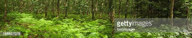 Lebhafte Sommer Grün ferns idyllischen Waldlandschaft panorama