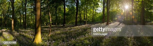 Vibrant summer sunrise idyllic wildflower forest ancient broadleaf woodland panorama