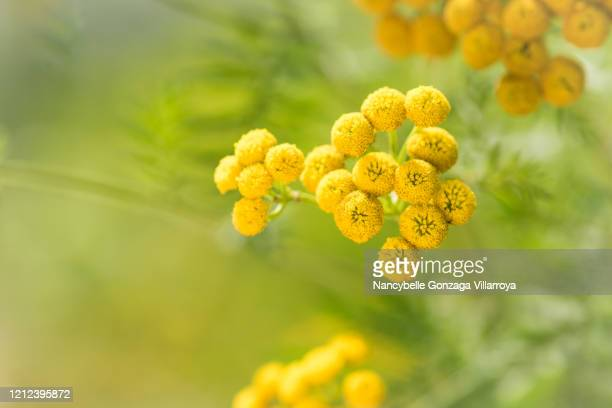 vibrant summer yellow flowers of perennial tansy - tansy stock pictures, royalty-free photos & images