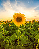 Vibrant sunflower field close up in summer in sunset