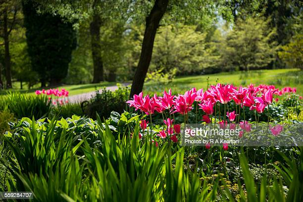 Vibrant tulips glowing in a spring garden