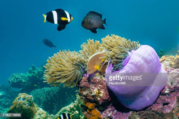 vibrant underwater coral reef anemonefish clown fish in sea anemone - sea life stock pictures, royalty-free photos & images