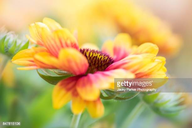 Vibrant yellow and red summer flowering Gaillardia - Blanket flowers
