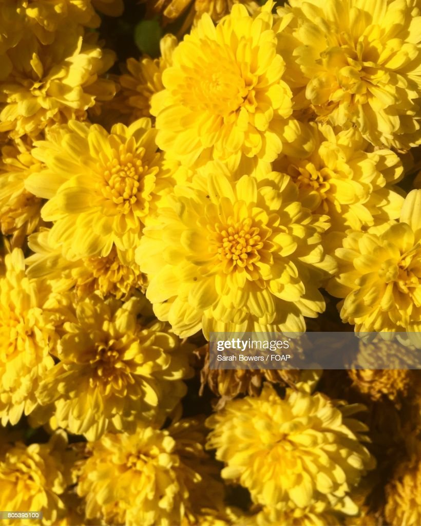 Vibrant Yellow Chrysanthemum Flowers Stock Photo Getty Images