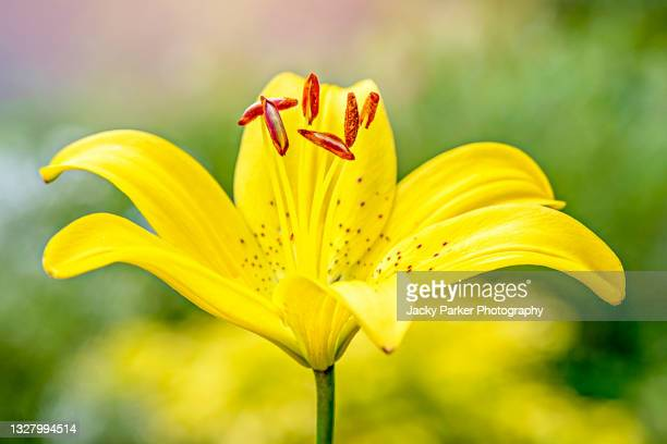 vibrant yellow summer flowering lily 'classic joy' single flower - おしべ ストックフォトと画像