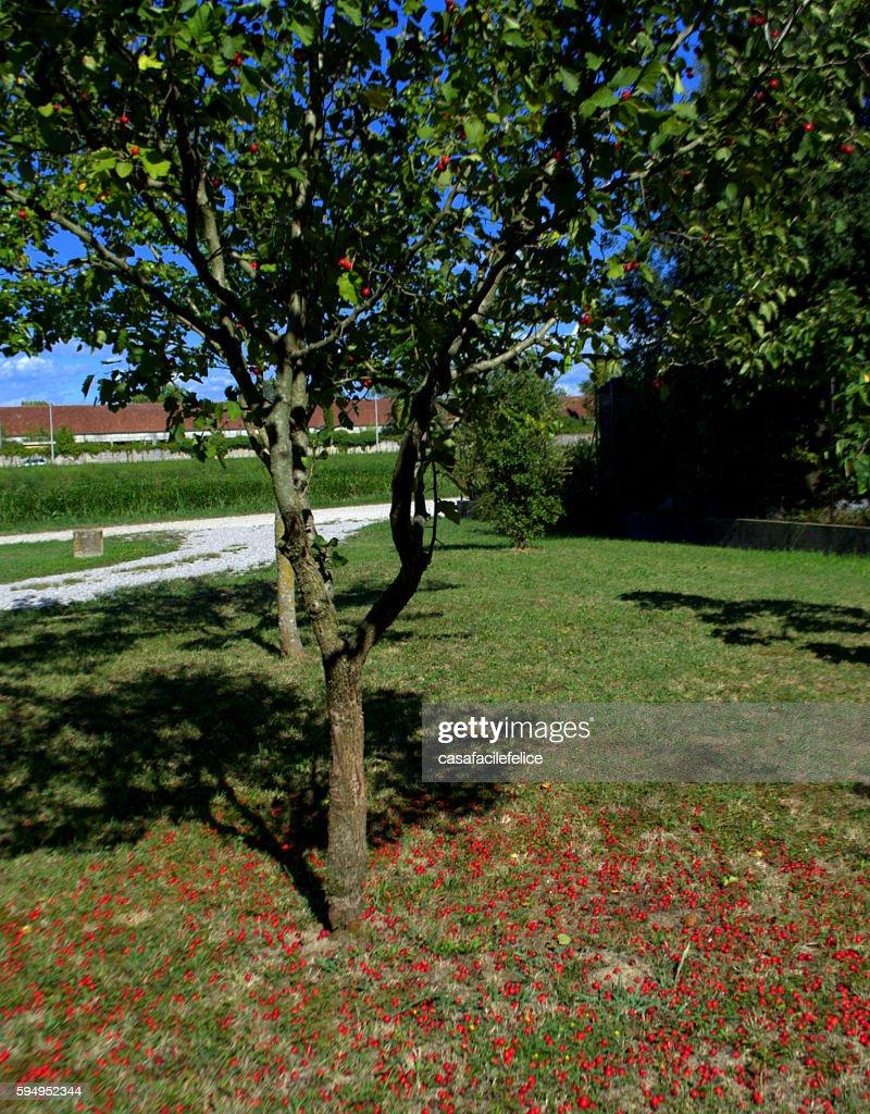 Albero Con Bacche Rosse viburno opulus albero con bacche rosse high-res stock photo