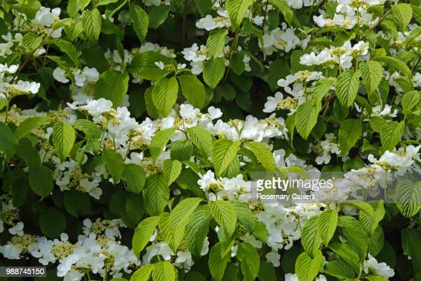 Viburnum tomentosum blossom filling frame.