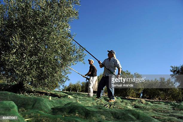 Vicente Urbano and his son Vicente use long sticks to beat the branches of the olive trees November 21 2008 in Carteya La Nueva near Cordoba Spain...