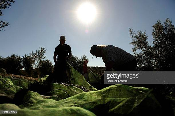 Vicente Urbano picks up olives with his son Vicente and his daughter Virginia from the mantas under the olive trees November 21 2008 in Carteya La...