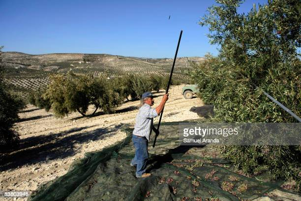 Vicente Urbano uses a long stick to beat the branches of an olive tree November 21 2008 in Carteya La Nueva near Cordoba Spain Jobs such as the...