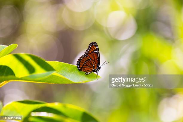 viceroy butterfly - like a star on the stage - gerold guggenbuehl stock-fotos und bilder