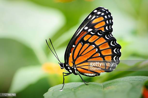 viceroy butterfly (limenitis archippus) - monarch butterfly stock pictures, royalty-free photos & images