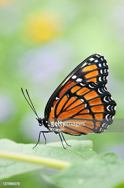 viceroy butterfly (limenitis archippus) - perching stock pictures, royalty-free photos & images