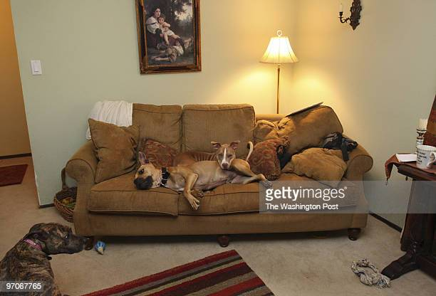 VickDogLEO25 DATE: April 3, 2008 CREDIT: Carol Guzy/ The Washington Post Los Gatos CA VICK DOGS a year later. Marthina McClay is founder of Our Pack,...