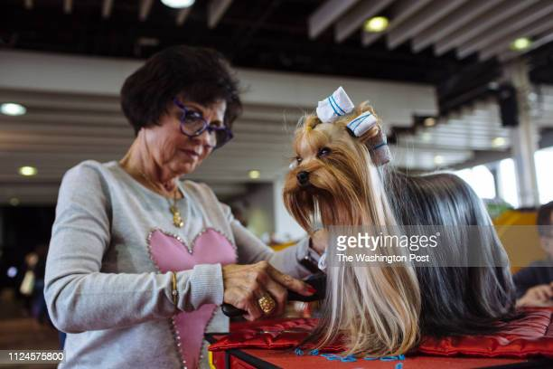 Vicky Meadows from St Louis Missouri grooms her Yorkshire Terrier Pip at the Westminster Kennel Club 2019 Dog Show at Pier 94 in New York United...